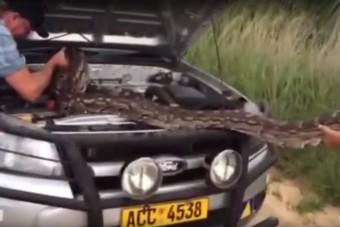 Akkora kígyó volt a motortérben, hogy kiráz a hideg - videó