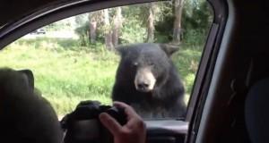 Nem vicces, amikor a medve nyitja ki az ajtót