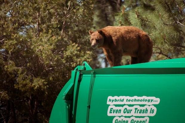 Büféjáraton utazott a potyautas medve