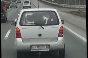 Állati videó az M7-esről, tehenek egy Suzukiban