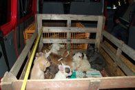 54 kiskutyát találtak egy furgonban