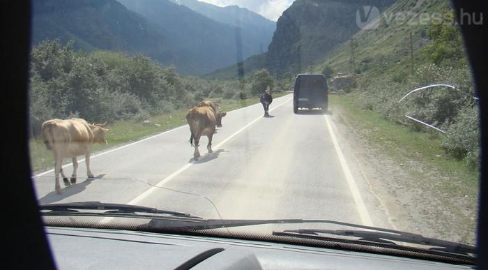 A tehenek vonzódnak az aszfaltúthoz