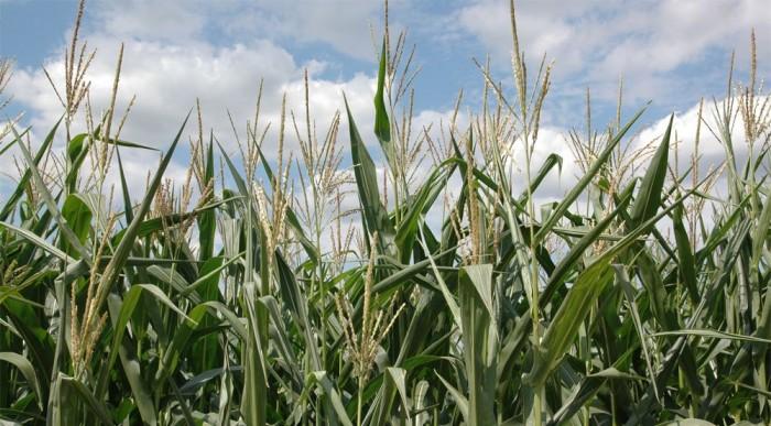 Hazánkban a Bioetanol kukoricából készül