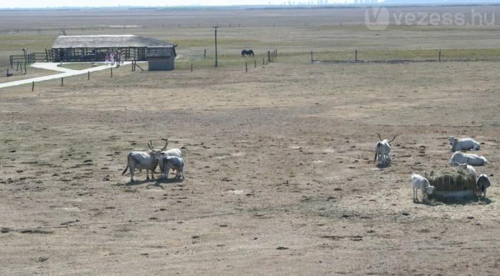 Puszta szürke marhákkal