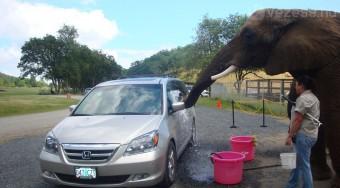 Autómosás elefánttal - videó