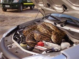 Motortérbe bújt az óriáskígyó