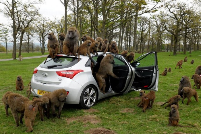 Variáció egy témára: a Hyundai brit csapata tavaly tavasszal páviánok elé vetett egy autót. Túlélte.
