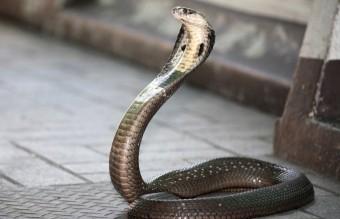 Mérgeskígyókkal autózott
