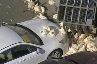 Élő csirkék zuhantak az autószalonra