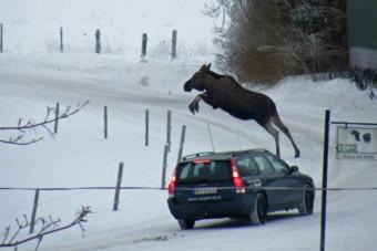 Vigyázat! Támadó jávorszarvas