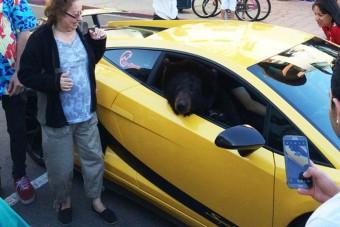 Medve a Lamborghini anyósülésén