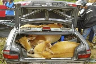 Vajon hány tehén fér el egy autóban?