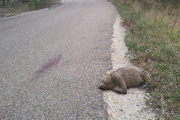 Elgázolt vombat az út szélén (wikipedia.org)