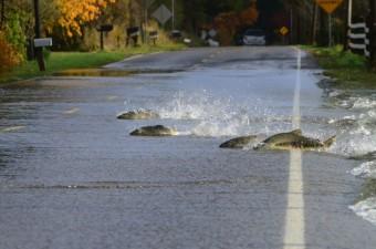 Hihetetlen: halak haladtak át az úton