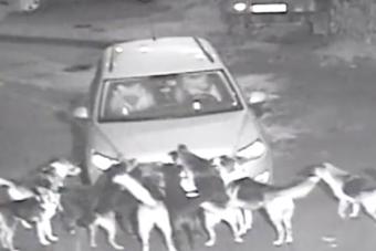 Megvadult kutyák téptek szét egy autót