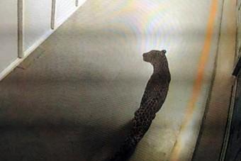 Leopárd miatt állt le a Suzuki gyára Indiában