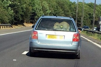Mekkora marha utazik ebben a kocsiban!