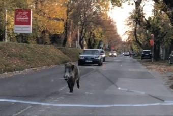 Vaddisznó rohant az autósokkal szembe Budapesten