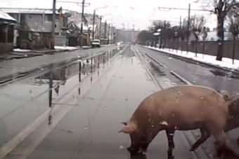 Forgalmas kolozsvári közúton kocogott két kövér disznó