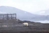 Lerobbant a Kamaz, és jött egy csapat jegesmedve 1