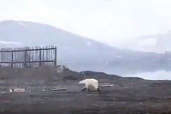 Éhező jegesmedve kóborol 800 kilométerre élőhelyétől