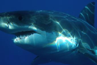 Egy fehér cápa csapott le a horgász zsákmányára