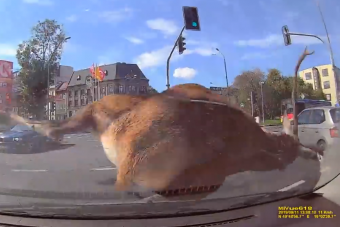 Sok mindenre számítunk a városi forgalomban, de egy hatalmas szarvasra nem