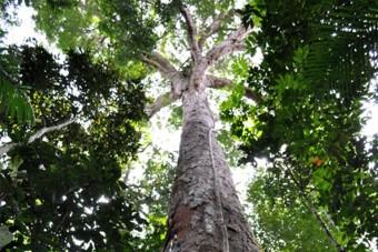 Az Amazonas legmagasabb fái túlélik a pusztító tüzet