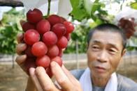 Tojásméretű szőlőszemek termettek egy fürtön 2