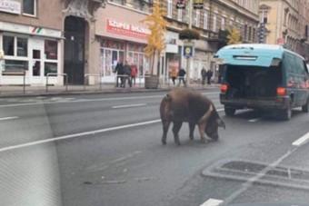 Elszabadult egy sertés a Keletinél, egy kisbuszból szökött ki
