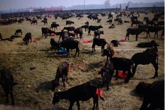 A világ legnagyobb állatáldozati szertartása kezdődött Nepálban