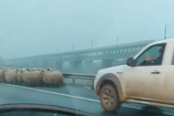 Autópályahídon terelte nyáját egy román juhász