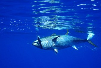 Ennek a halnak 2 millió forintot ér kilója
