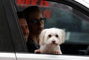 Óvatosabban vezetünk, ha kutya is van az autóban