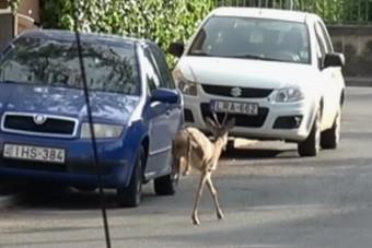 Őzbak rohangált Szombathelyen az autók között
