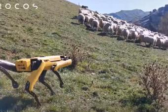 Juhokat terel, a szőlőben melózik a legfejlettebb négylábú robot
