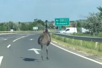 Egy emu rohangált a 4-es főúton az autók között