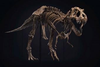Elárverezik a világ egyik legnagyobb T-rex-csontvázát