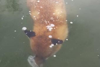 Egy teljesen jégbe fagyott róka fotója járja most be az internetet
