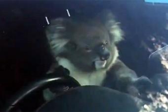 Csúcsidőben okozott tömegkarambolt egy koala