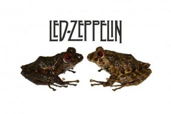 Békát neveztek el a Led Zeppelinről