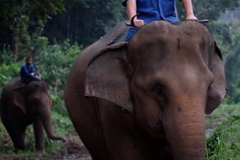 A világ legdrágább kávéját elefántürülékből szemezgetik ki