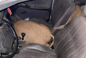Ennek az autósnak malaca volt, de nem a rendőröknél