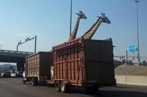 Zsiráfhalál az autópályán