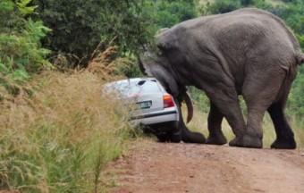 Elefánt terrorizálta az autósokat